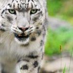 wiki-White-Tiger-Image